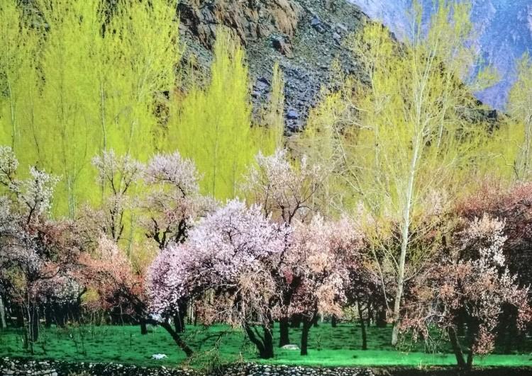 Apricot blossoms.jpg