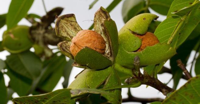 Walnut ripe nuts