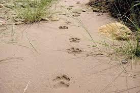 pug marks tiger