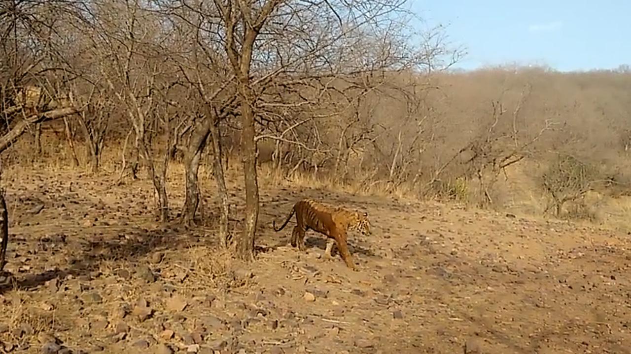 Ranthambore Tiger 2.jpg