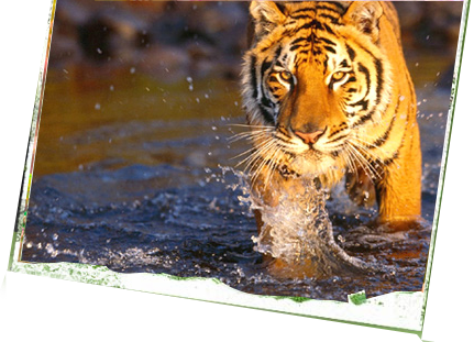 Tiger water