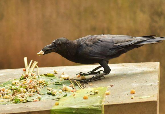 feeding-crows.jpg